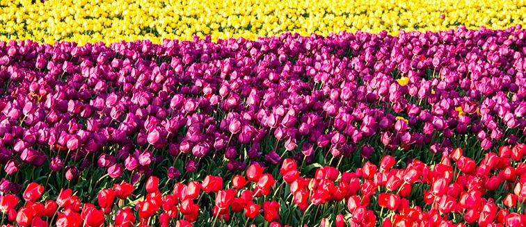 Festival de tulipán