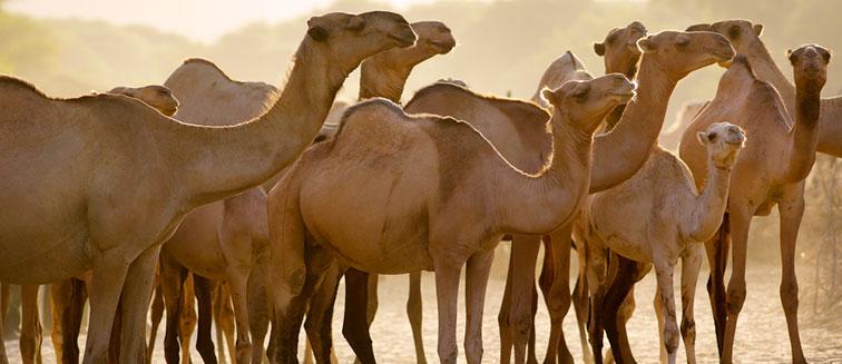 Maralal Camel Derby